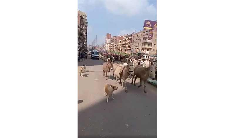 أبقار في شوارع الزقازيق