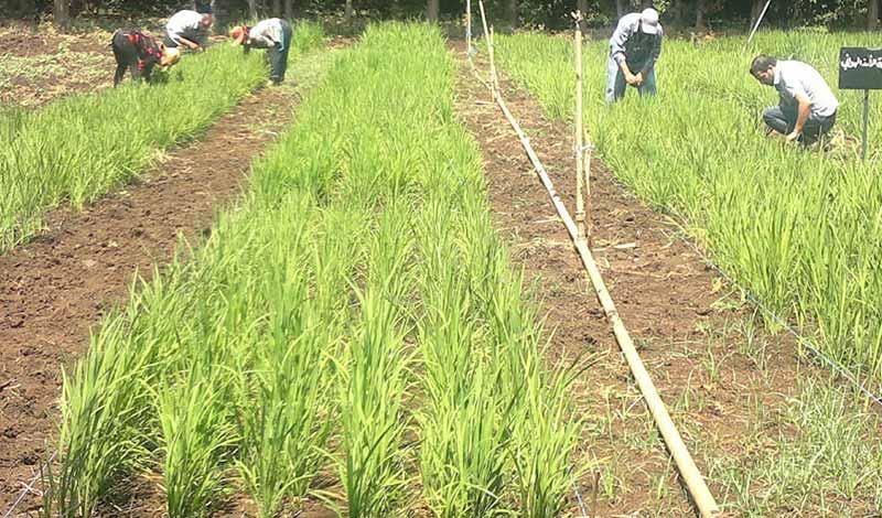 عقوبة زراعة الأرز